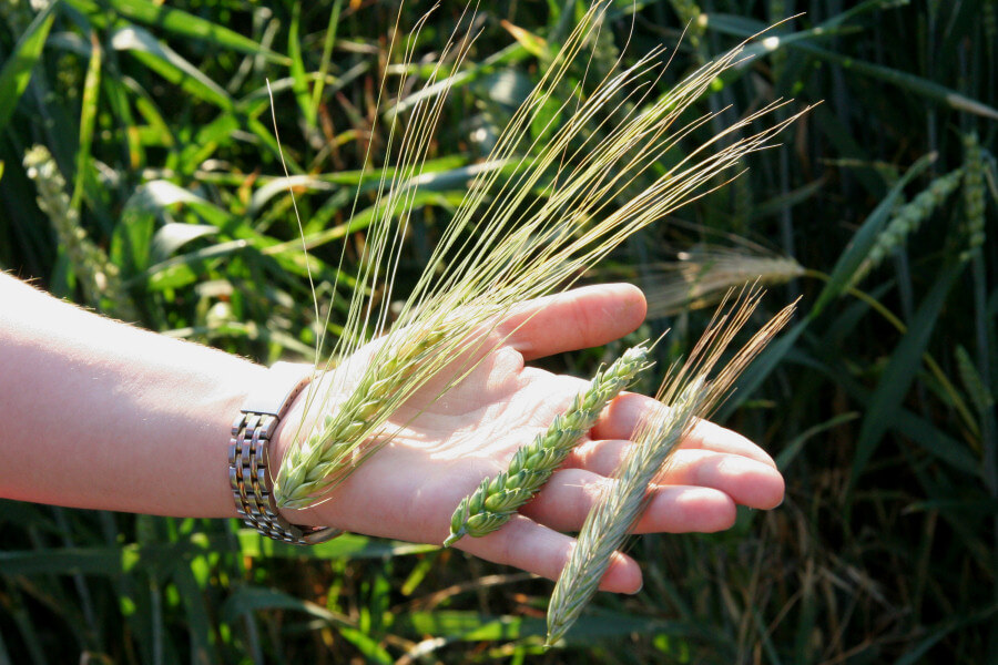 Comparaison des épis de différentes céréales : orge, blé, seigle