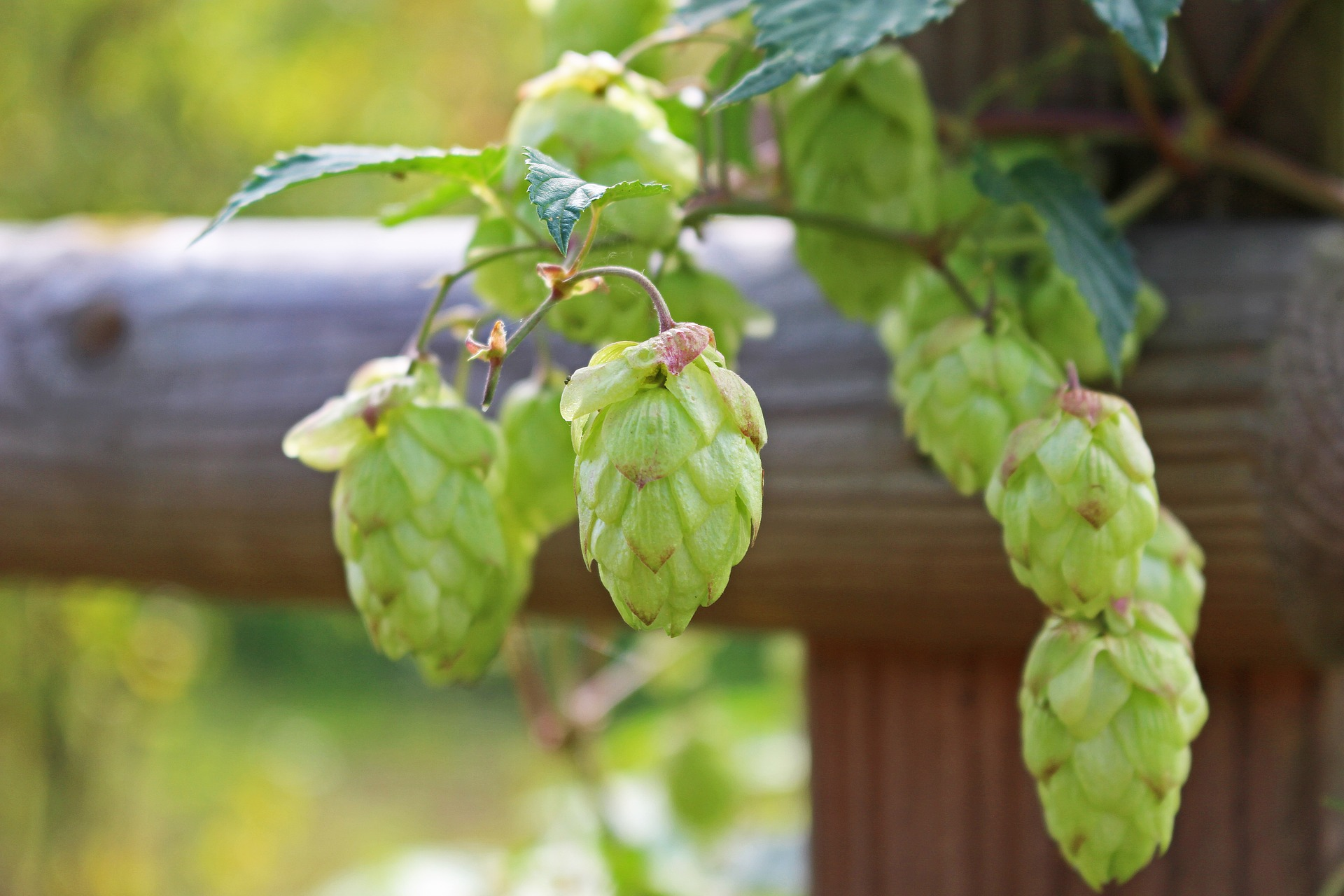 houblon cones brassage biere 2