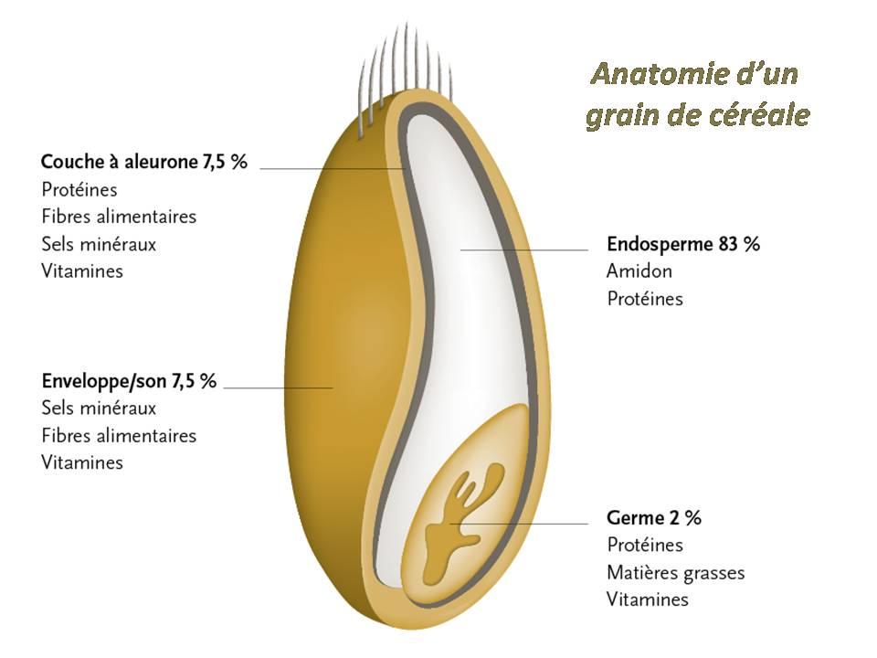 Anatomie d'un grain de céréale brassage biere