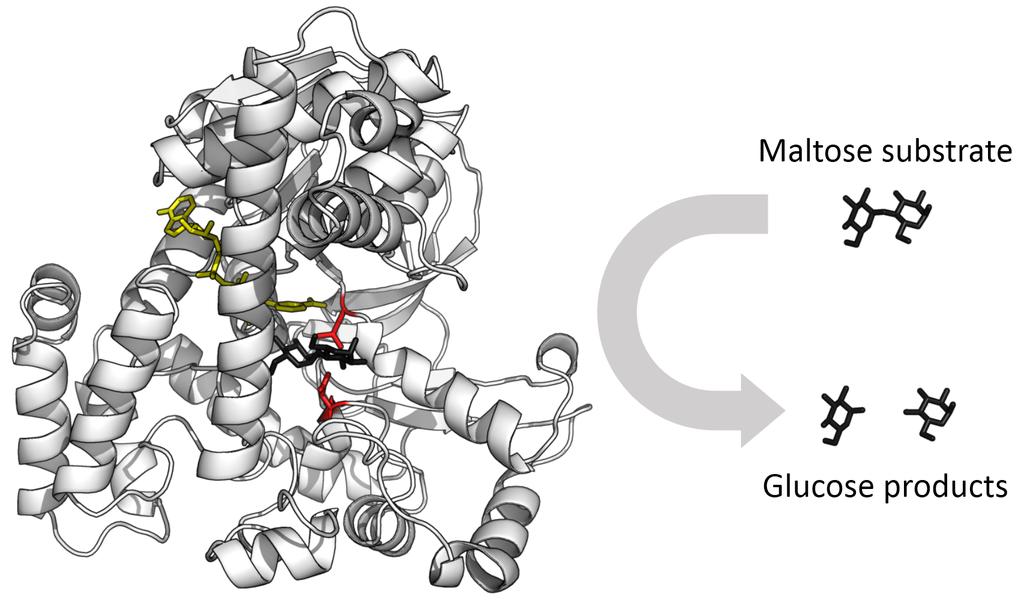Glucosidase_enzyme brassage biere